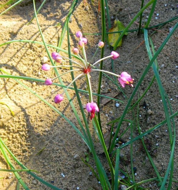 062ラッキョウの花