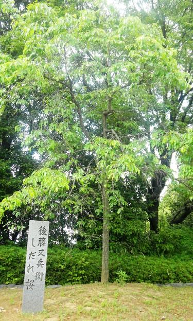 15又兵衛しだれ桜 (2)