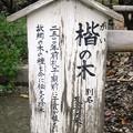 Photos: 楷の木・道明寺天満宮