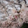 写真: 昨年の桜