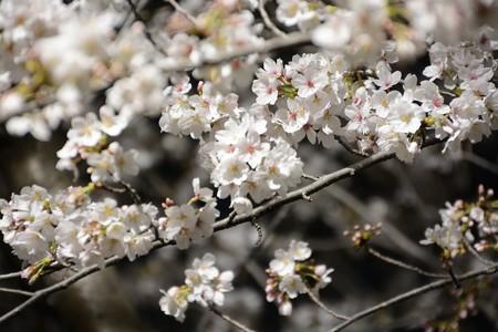 夜桜001