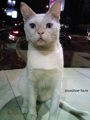 目の青い白猫