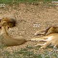 ライオン寝てる