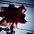Photos: 花と架線