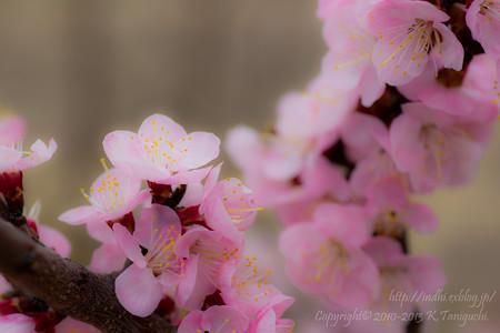 これもあんずの花?