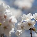 Photos: 桜咲いてました