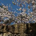 Photos: 春の石垣