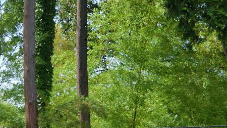 桜美林の林