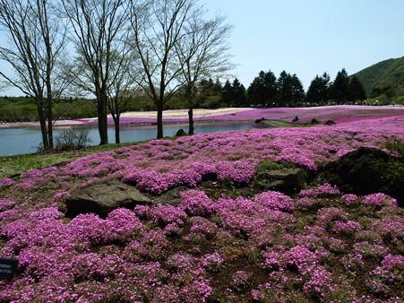 富士芝桜4