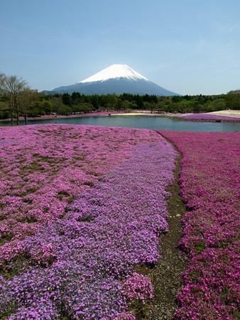 富士芝桜10