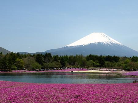 富士芝桜14