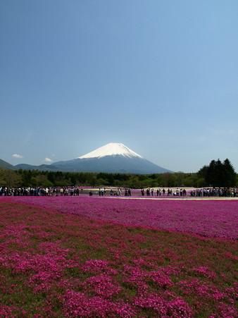 富士芝桜22