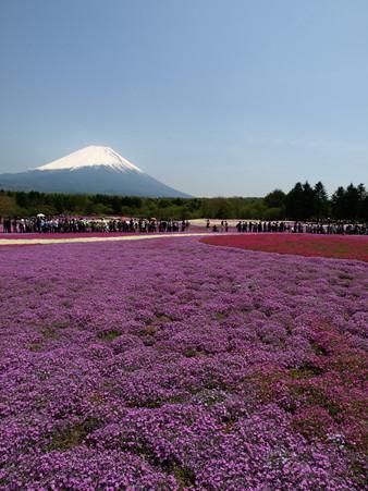 富士芝桜24