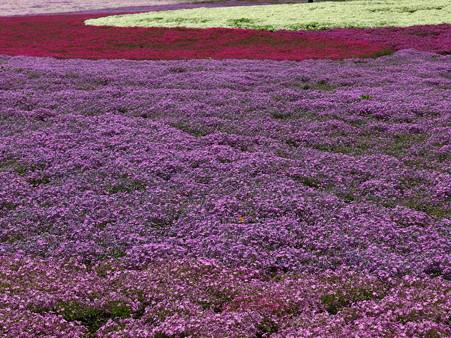 富士芝桜26