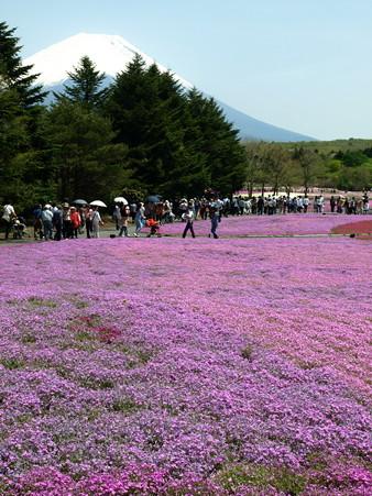 富士芝桜29