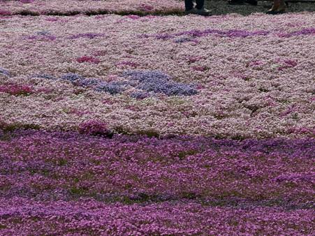 富士芝桜39