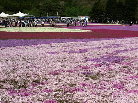 富士芝桜47