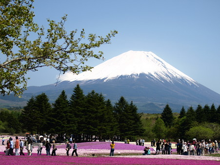 富士芝桜48