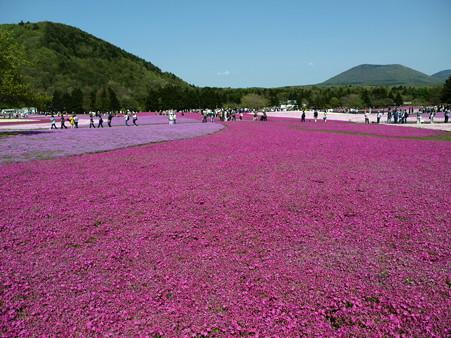 富士芝桜50