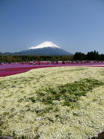 富士芝桜55