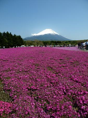 富士芝桜57