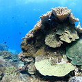Corals 01