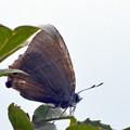 オオミドリシジミ♂(八劍山)