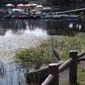 Photos: アオサギ(江津湖)