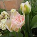八重咲きチューリップ