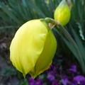 八重咲き水仙の蕾