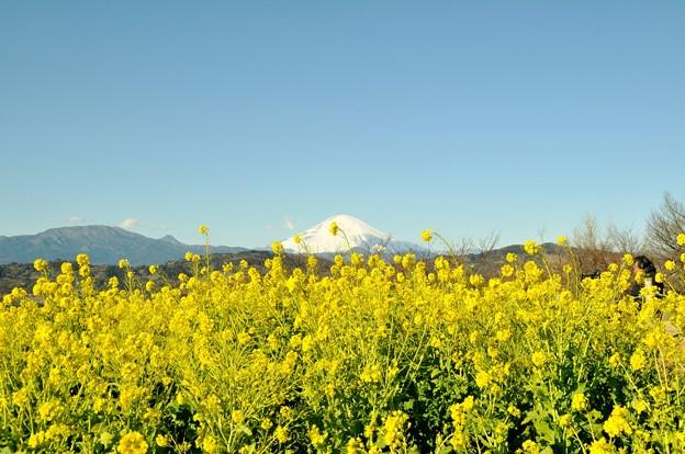 2014-01-19 ニコン 二宮よさこい 菜の花富士山 036