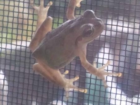 網戸にカエル しかも内側(゜Д゜)