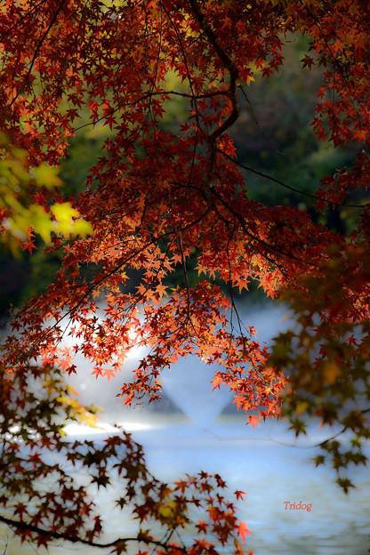 弁天池の楓