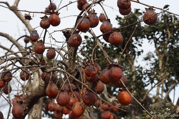 天然の干し柿?