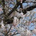 Photos: 五分咲き