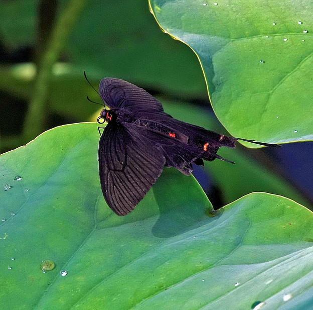高松城跡の黒いアゲハ蝶。。