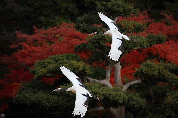 岡山後楽園、タンチョウ放鳥 ♪
