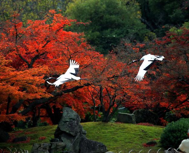 タンチョウの舞、岡山後楽園 ♪♪