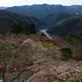 Photos: 三休公園の桜、岡山県美咲町 ♪