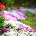 Photos: チューリップと芝桜 ☆