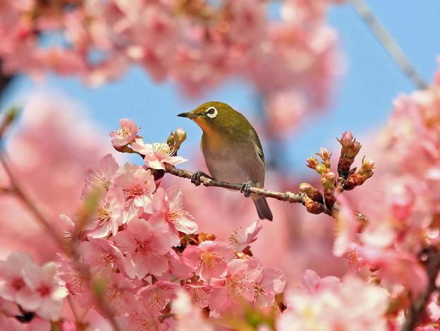 メジロの花見、Spring ☆