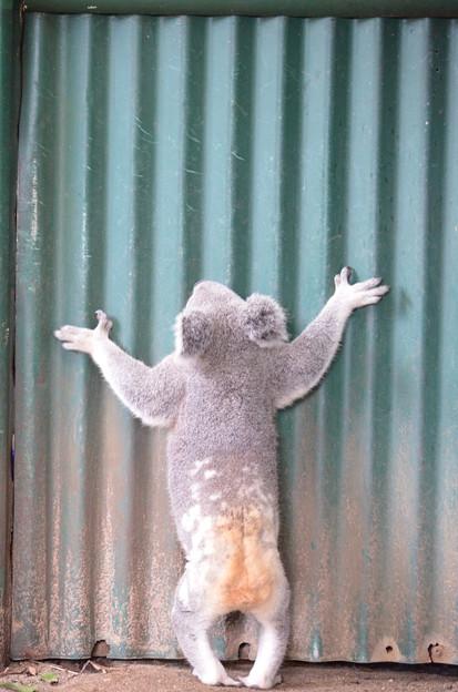 逃げたいコアラ
