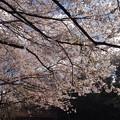 写真: 近くの公園の桜です2