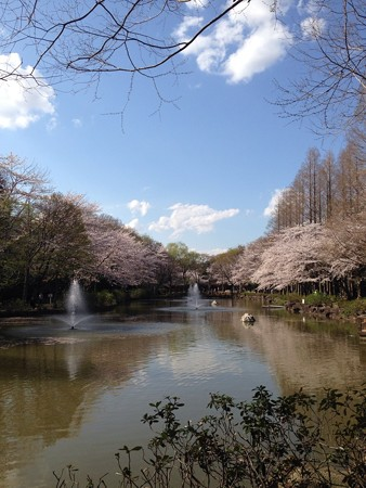 近くの公園の桜です5