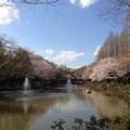 Photos: 近くの公園の桜です5