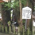 写真: 大分 高塚地蔵尊05 樹齢千年乳銀杏