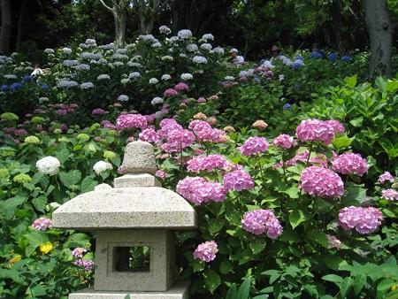 長谷寺のアジサイの径 08 紫陽花寄り添う石灯籠