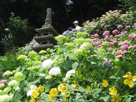 長谷寺のアジサイの径 11