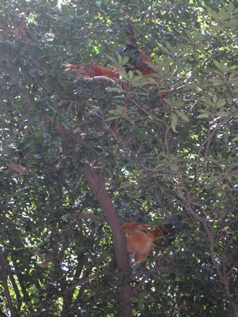 熱田神宮20 樹上の鶏たち