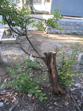 大鳥大社16 朽ち木から枝